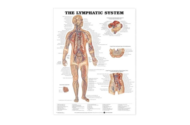 Sistem limfatic 50,8x66cm