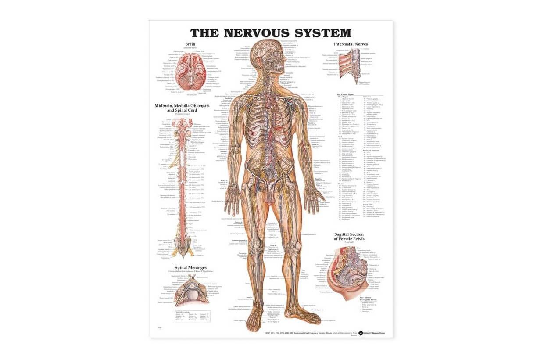 Sistem nervos 50,8x66cm