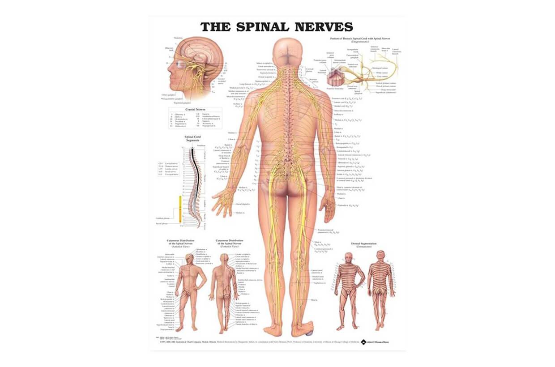 Nervii spinali 50,8x66cm