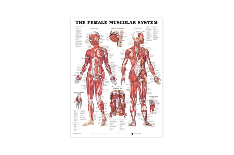 Sistem muscular FEMEIE 50,8x66cm